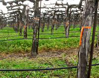 Grape Vines, Early Spring